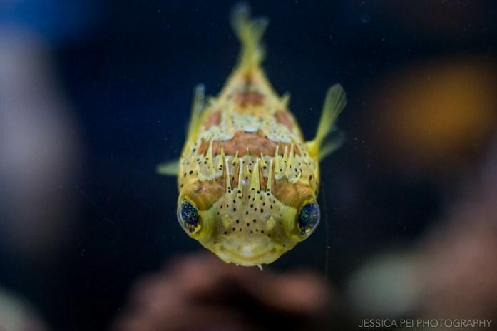 Aquarium of the Pacific pufferfish