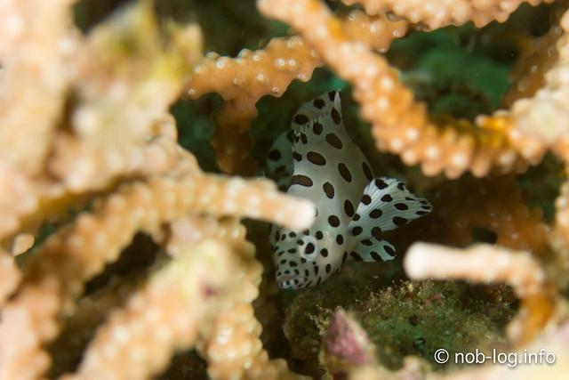 サラサハタの幼魚