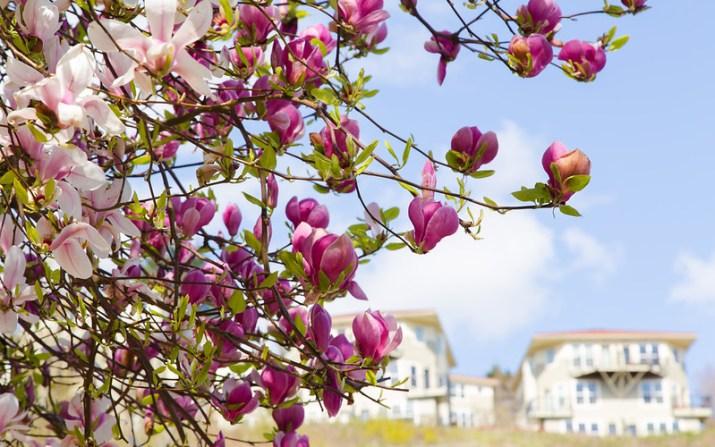Spring Magnolia - Portland