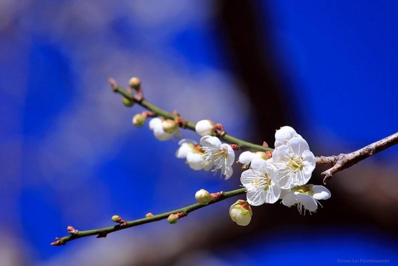 一翦梅(Prunus mume)