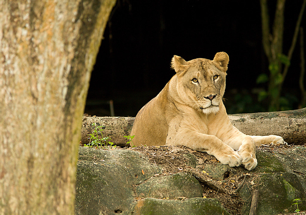 Imagen gratis de una leona descansando