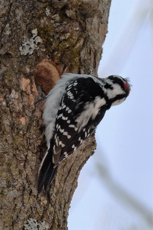 _DSC3636 Hairy Woodpecker