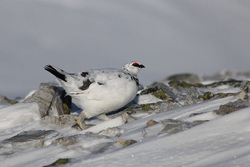Ptarmigan on the move