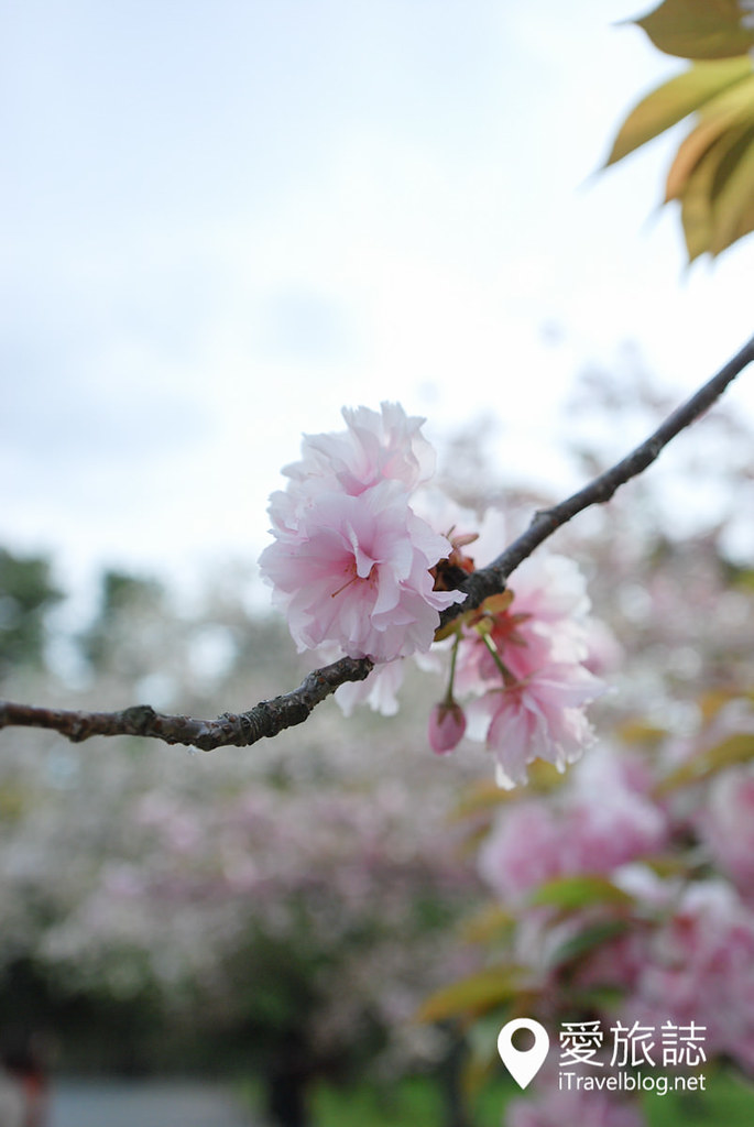 京都赏樱景点 元离宫二条城 17