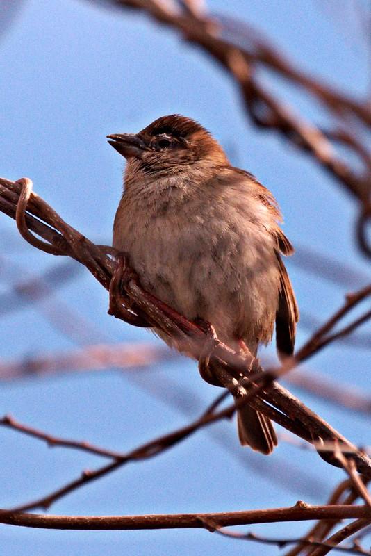 _DSC3976 House Sparrow (f)