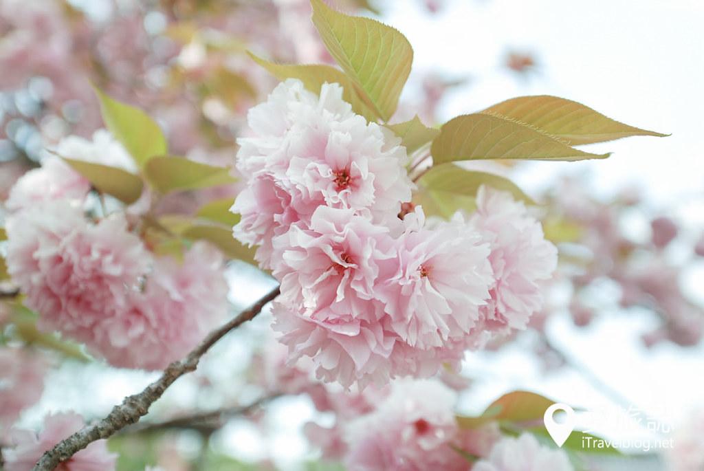 京都赏樱景点 元离宫二条城 19