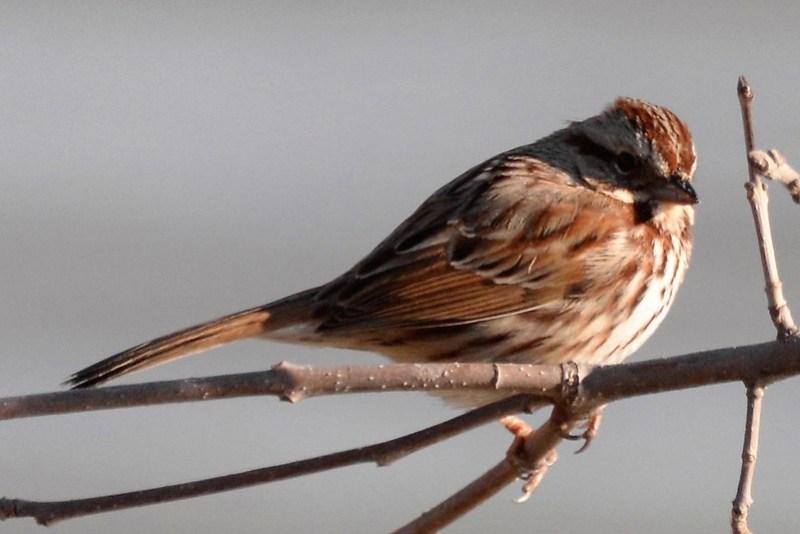_DSC4951 Song Sparrow