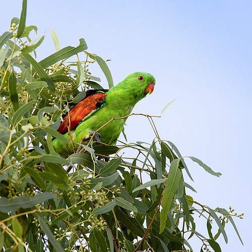 a red-winged parrot