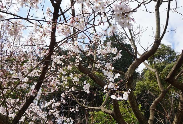 桜のお出迎え