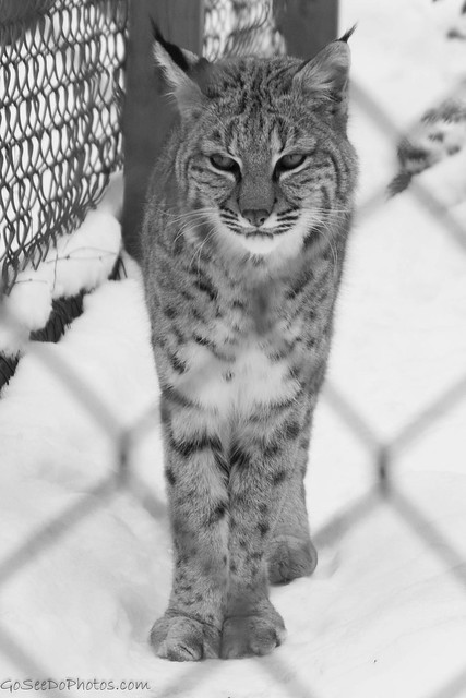 Bobcat behind bars