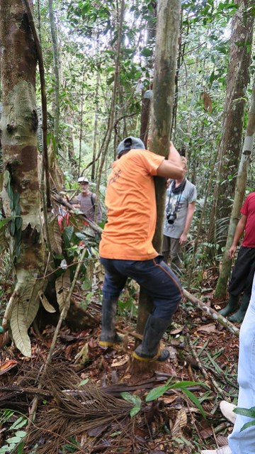 tree climbing amazon rainforest tupana
