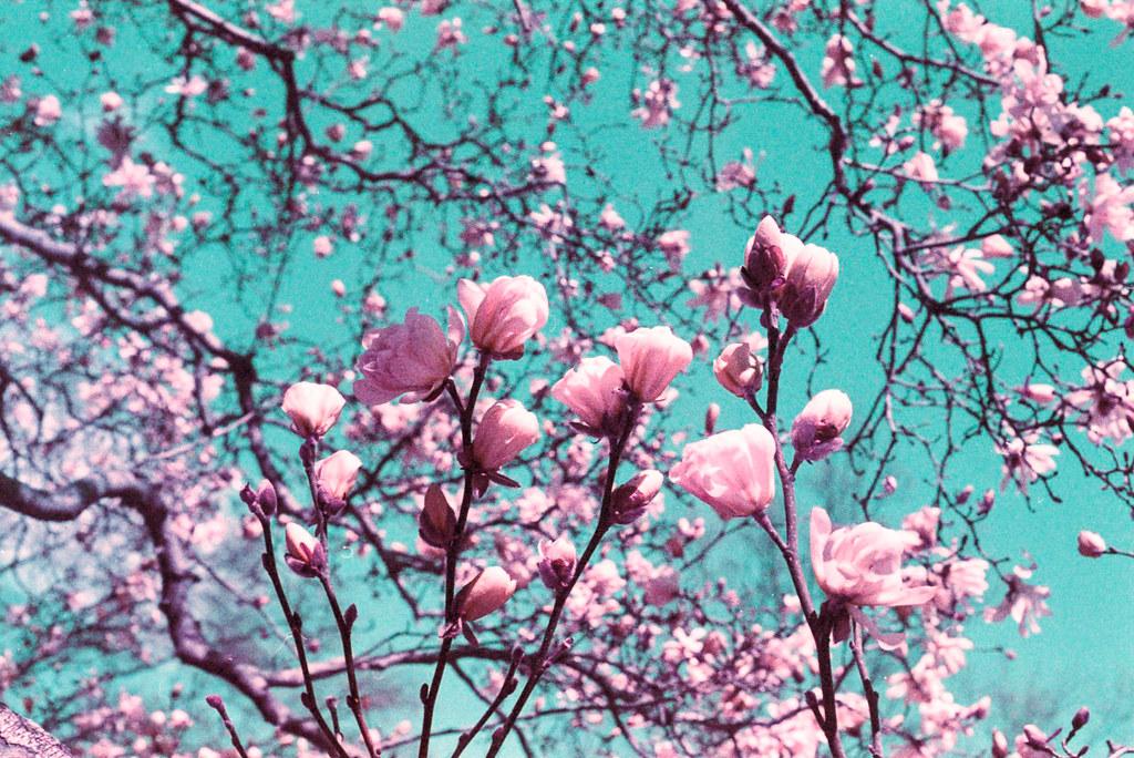A Magnolia Dream
