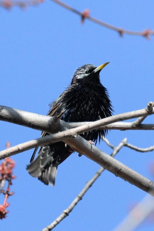_DSC6172 European Starling
