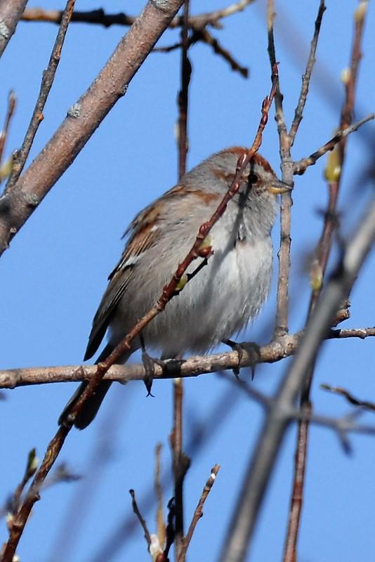 _DSC7045 American Tree Sparrow