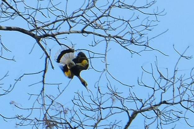 Great hornbill. Khao Sok