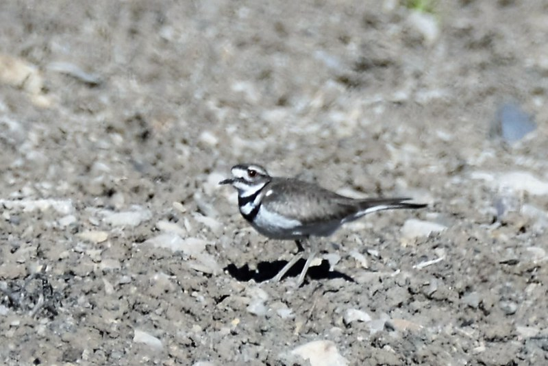_DSC7037 Killdeer
