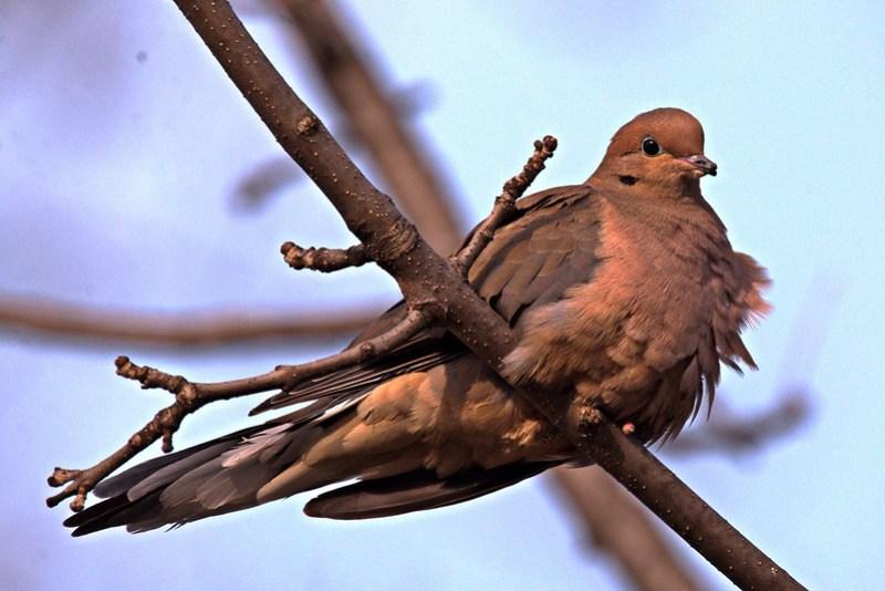 _DSC4300 Mourning Dove