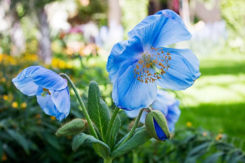 longwood-blue-poppies