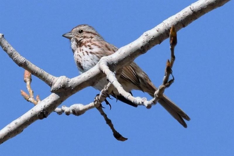 _DSC6098 Song Sparrow