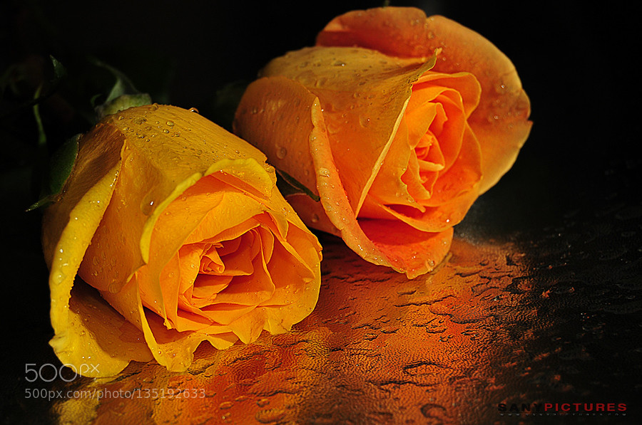 Yellow Rose With Water Drops: Beautiful Yellow Roses With Water Drops By SANYPICTURES