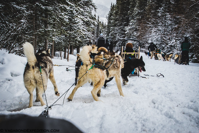 multiple sled dog teams ready to depart on the days adventure