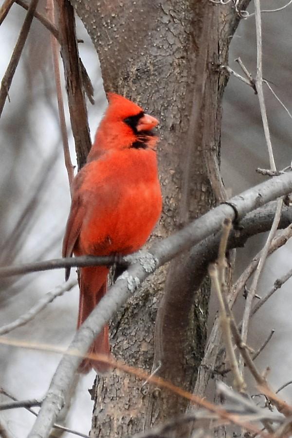 _DSC3031 Northern Cardinal