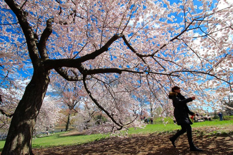 Central Park cherry blossoms 2016