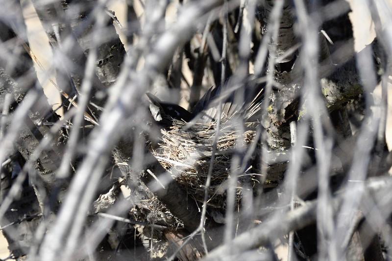_DSC7063 American Robin in a nest