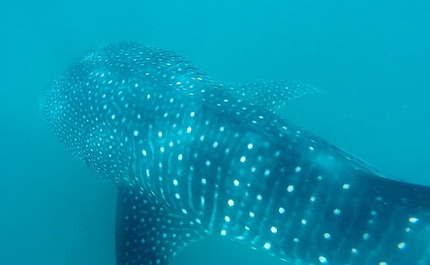 Whale shark's back. Donsol
