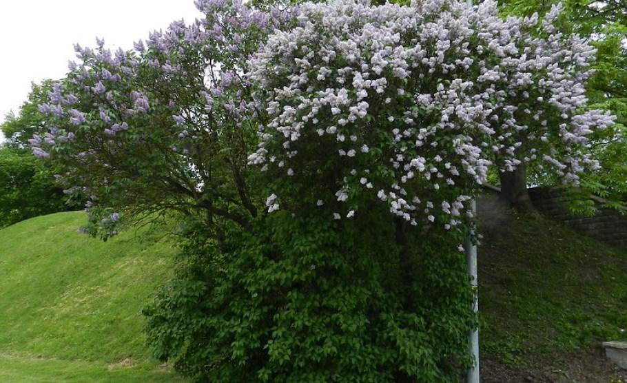 Flores Estonia 19