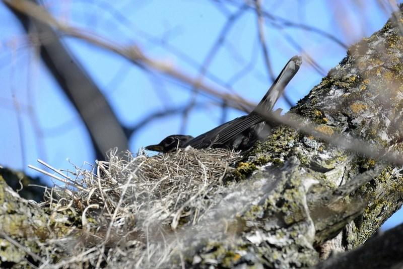 _DSC5964 American Robin in nest