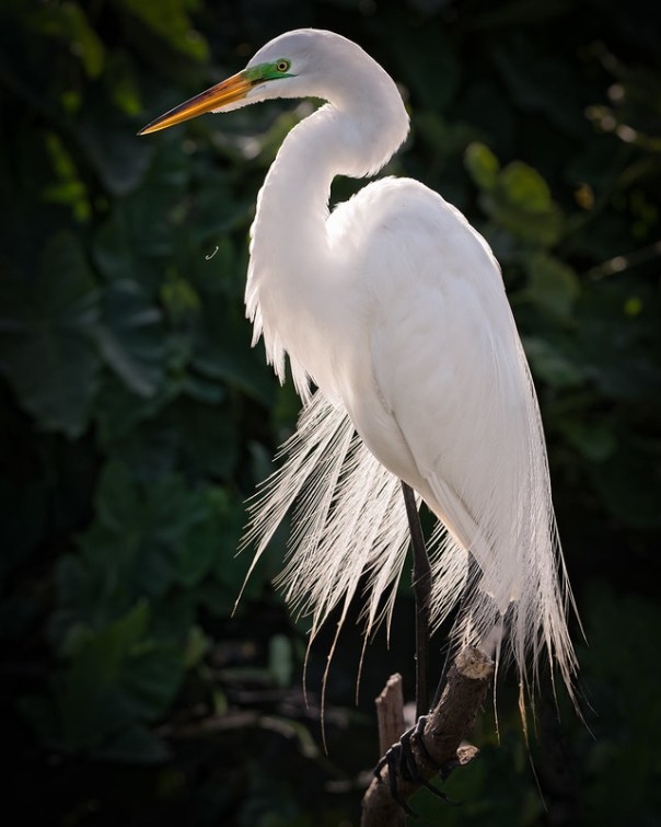 Great Glowing Egret