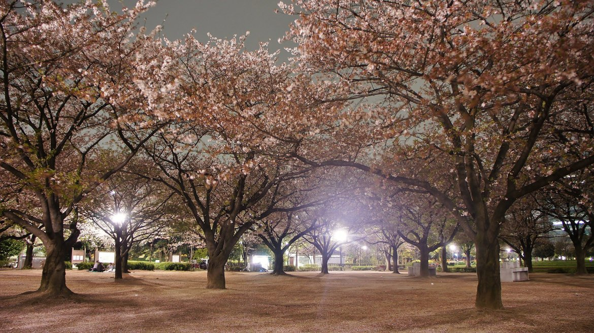 Kiba Park Cherry Blossom Illumination