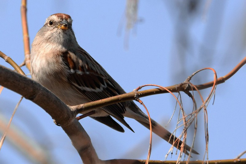 _DSC5796 Amerian Tree Sparrow