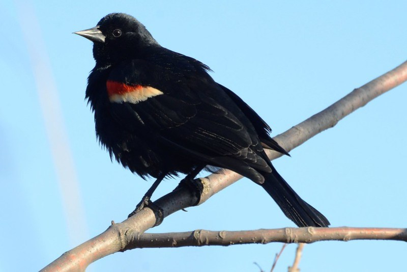 _DSC2328 Red-winged Blackbird