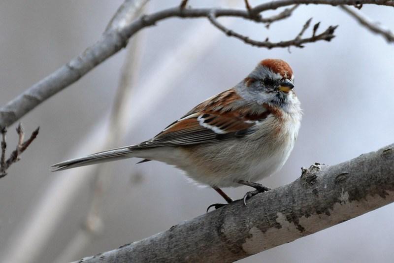 _DSC3060 American Tree Sparrow