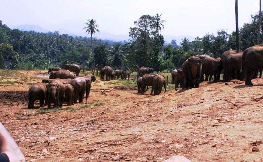 39 Pinnawala Elephant Orphanage