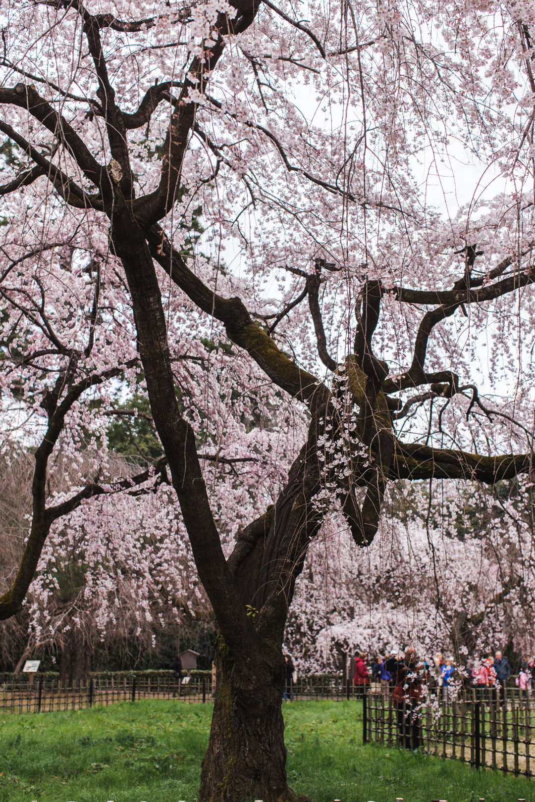 japan | sakura in kyoto