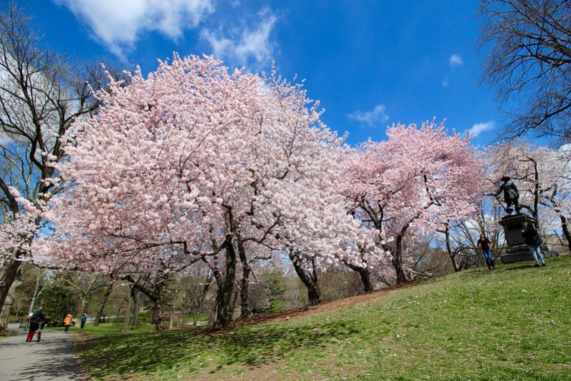 Central Park Cherry Blossoms 2016