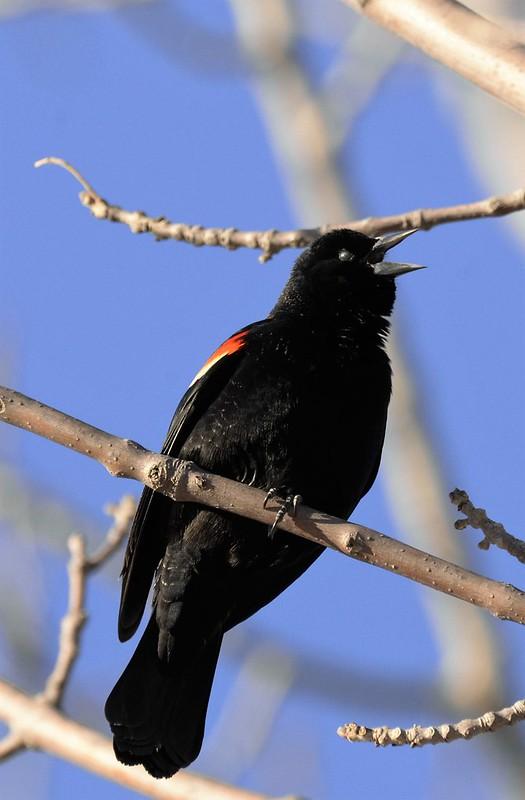 _DSC2720 Red-winged Blackbird