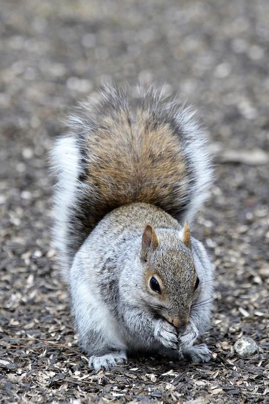 _DSC3007 Squirrel
