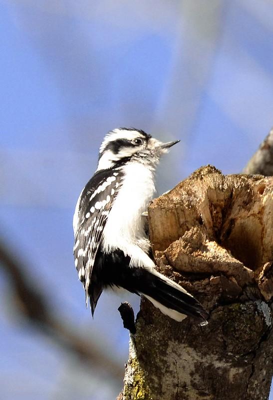 _DSC2863 Downy Woodpecker