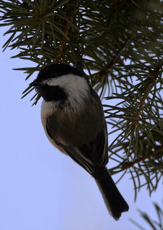 _DSC2640 Black-capped Chickadee