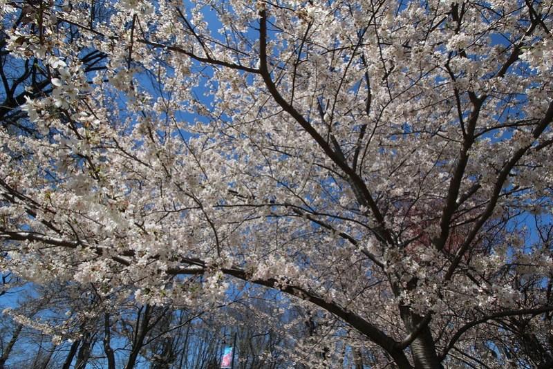 Branch Brook Park Cherry Blossom 2016