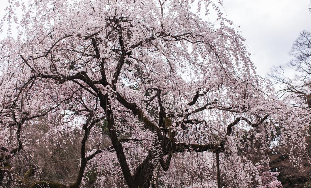 japan | sakura in kyoto
