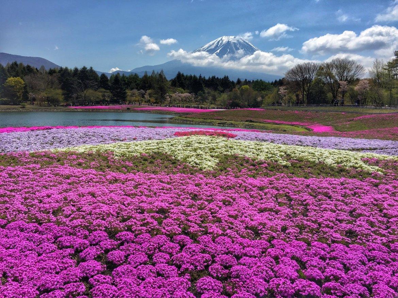 Mount Fuji & Shibazakura