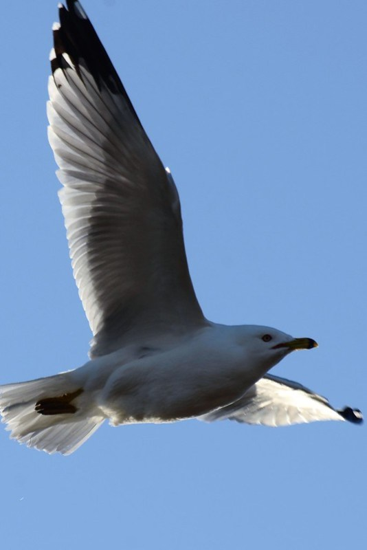 _DSC2311 Ring-billed Gull