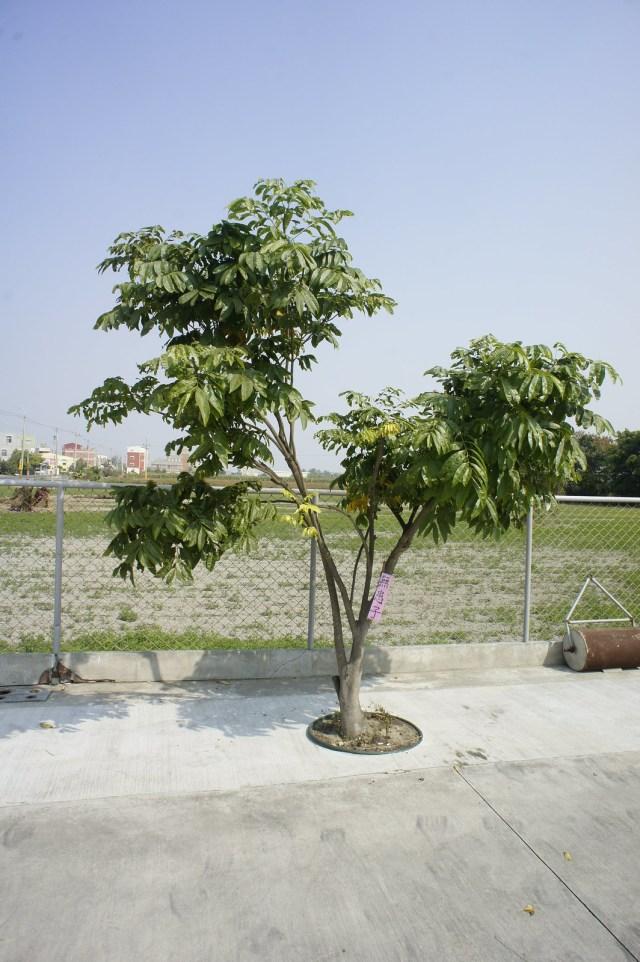 台南市安定區古寶無患子 (16)