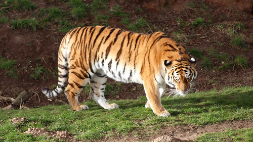 Amur Tiger at the Yorkshire Wildlife Park