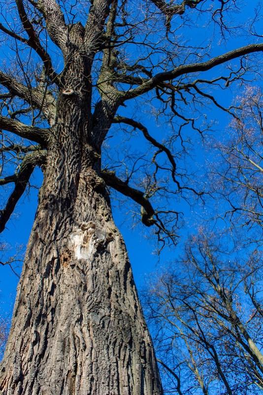 02.07. 500-year old oak